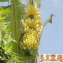 芭蕉 新鲜水果香蕉 芭蕉中性老年人宜吃 预防呼吸道疾病 惠宜果蔬 价格:58.68
