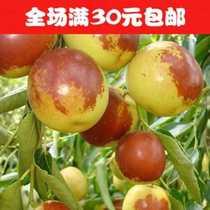 秀色天地红枣树苗*大雪枣*红枣苗肉质细嫩,脆甜,清香爽口当年结果 价格:5.10