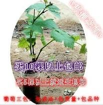 新品种果树苗 室内外盆栽地栽葡萄苗 南北方包成活3年苗 当年结果 价格:1.55