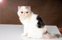 CFA浅三花高白加菲猫 异国短毛猫 纯种猫 宠物猫 波斯猫 母猫MM 价格:22000.00
