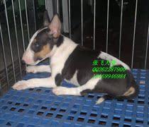纯种短毛中型猛犬宠物狗狗三色牛头梗犬幼犬出售公狗支付宝 价格:3599.00