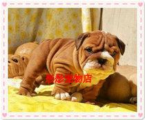 英国斗牛犬/斗牛犬/出售纯种英牛幼犬/赛级品质/可实地挑选 价格:18000.00