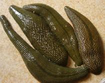 菲牛蛭 活水蛭 吸血蛭 从小吸血 水蛭 蚂蝗 6元1只 全网最低价 价格:6.00