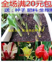 荷兰进口种球 郁金香种球 盆栽种球 可水培 多色可选 品种齐全 价格:0.50