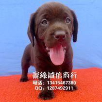 纯种巧克力色拉布拉多寻回猎犬-拉布拉多犬-幼犬-钻石信誉103-99 价格:1399.00
