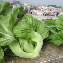 蔡兴利特选大坪埔大肉包心芥菜种子 腌制雪菜 梅菜 酸菜 50天可收 价格:3.00