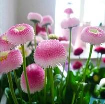 进口花卉种子小雏菊种子 草莓雪糕 香水味盆栽菊花塔苏舞蹈 25粒 价格:1.60