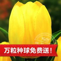 【郁金香预售】2013荷兰进口郁金香种球 Strong Gold 纯金 价格:3.00