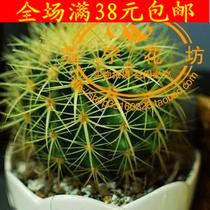 特价【仙人球小型盆栽】俗称草球|又名长盛球 价格:10.00