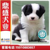 【皇冠店铺】H9纯种边境牧羊犬/聪明边牧幼犬/工作犬/上门选/刷卡 价格:2888.00