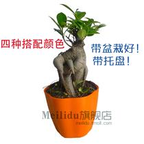 小榕树 盆栽盆景树苗 室内观叶绿植花卉 耐阴好养植 含盆带托盘 价格:11.80