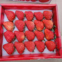 极品红颜有机新鲜大草莓礼盒,精选盒装,广州,深圳,广东4盒包邮 价格:25.00