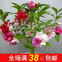 彩包花卉种子 七彩凤仙种i子 凤仙花种子 约30粒 易栽培 价格:2.50
