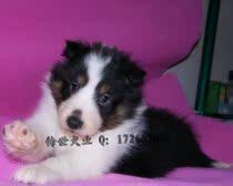 喜乐蒂牧羊犬幼犬纯种喜乐蒂 三色喜乐蒂 基地繁殖多只可选 价格:2000.00