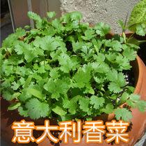 阳台蔬菜 香菜 盆栽 四季香菜种子 芫荽 耐寒 快长 耐高温 250粒 价格:1.50