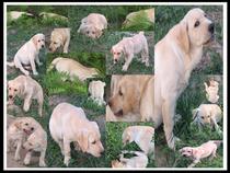 犬舍繁殖宠物狗狗黑白色拉布拉多幼犬纯种导盲犬拉布拉多寻回猎犬 价格:2500.00