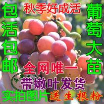可盆栽果树苗 葡萄树苗 当年结果挂年葡萄苗南方北方果树苗木包邮 价格:28.90