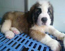 圣伯纳犬 纯种圣伯纳幼犬 大型犬圣伯纳狗崽 价格:1899.00