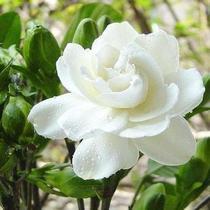 小叶栀子花 盆栽栀子花苗 阳台室内外植物 净化空气花卉 超级香 价格:10.00