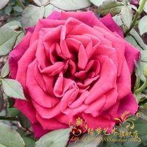 秒杀 大花月季花苗 20多个品种 四季开花 (凯利斯)盆栽品种月季 价格:6.80