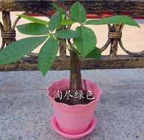 小发财树   盆栽植物花卉  绿色植物   办公室最佳选择 价格:8.00