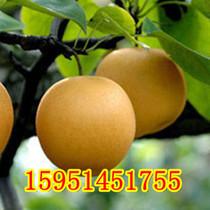 可盆栽 地栽 果树苗木 号称 天然矿泉水 丰水梨 梨树苗 结果苗 价格:28.00