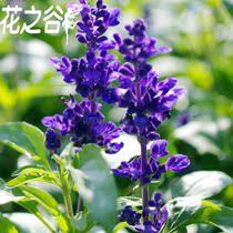 花之谷 香草种子*蓝花鼠尾草2元15粒10元100粒(蓝色胜利)花种 价格:2.00