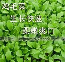菜农神 E55上海原种鸡毛菜]青菜 口感柔嫩/四季【菜菜】蔬菜种子 价格:3.00
