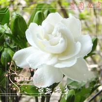 芳香花卉 栀子花苗 大叶栀子 香味独特 原价10元现价5.8元! 价格:5.80