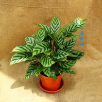翠叶竹芋  竹芋净化空气 美丽竹芋 大观园林 价格:36.00