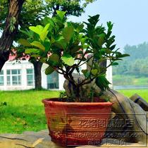 花卉绿植盆栽[佛手]佛手柑苗|佛手果实可以泡茶喝|清热去火 价格:10.00
