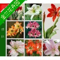 批发出售 盆栽花卉 朱顶红种球 水培朱顶红 孤挺花 百子莲 对子莲 价格:5.50