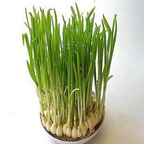 绿色食品新鲜蔬菜 蒜苗蔬菜 纯天然新鲜有机蔬菜 现摘新鲜蒜苗 价格:4.90