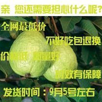 新鲜水果 台湾珍珠大芭乐/番石榴 十斤起运费特价胜包邮 价格:4.00