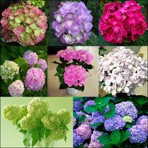 洋绣球 花卉种子 天竺葵 绣球花 花种子 常绿植物 花期长 10粒 价格:2.00