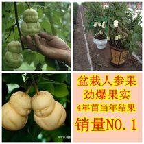人参果 造型水果 水果苗 真正的人生果树苗 自然结果 可盆栽哦 价格:8.00