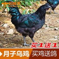 正宗农家散养 乌鸡老母鸡 滋补 孕妇产妇月子土鸡 加送乳鸽1只 价格:149.94
