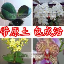 蝴蝶兰花苗  蝴蝶兰盆栽 蝴蝶兰带花盆栽 年宵花卉 品种保证 价格:12.80