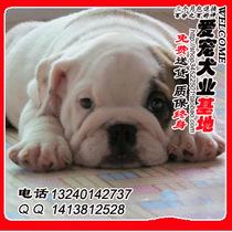 出售健康纯种家养 英国斗牛犬幼犬 英斗犬幼犬斗牛犬 北京可上门 价格:5000.00