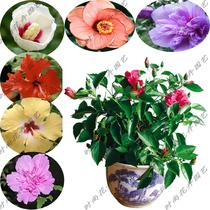 室内盆栽 室内外花卉-盆栽扶桑花-重瓣 木槿 大苗  扶桑木槿盆栽 价格:1.80