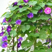 庭院花卉种子 藤蔓爬藤植物 混色大牵牛花种子 喇叭花种子50粒 价格:2.00
