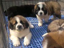 巨型犬雪地救援工作犬圣伯纳纯种幼犬珠三角可送货支持支付宝## 价格:2200.00