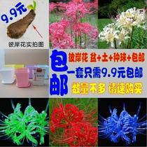 室内桌面盆栽种球花卉 当年开花植物/彼岸花/石蒜 曼珠沙华套餐 价格:9.90