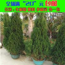 出售圣诞树苗 室内盆栽 雪松苗 宝塔松 桧柏苗 圣诞红鲜活植物 价格:23.75