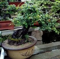 榆树高档植物盆栽花卉办公室树桩绿植防辐射 价格:1650.00