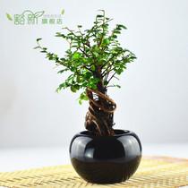 天猫 榆树 苗 榆树桩 圆球套装 室内桌面 盆栽 绿植 小盆景 栽好 价格:18.20