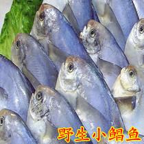 青岛沙子口野生小鲳鱼,新鲜鲳鱼,鲳鱼,当天捕捞,当天买卖 价格:47.50
