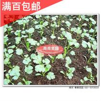 香菜 种子 自封小包装 约220粒 价格:1.00