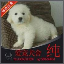 纯种 大白熊犬 幼犬 宠物犬 家养大白熊 品质保证=28 价格:3800.00