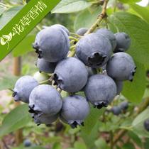 【花草香情】康维尔蓝莓树苗 盆栽果树苗 当年结果蓝莓苗 包成活 价格:3.80